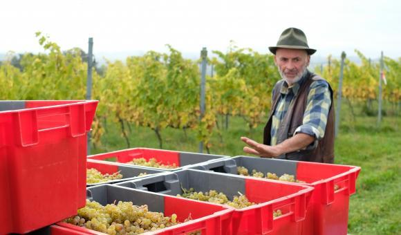 Vendanges à la Coopérative Vin de Liège